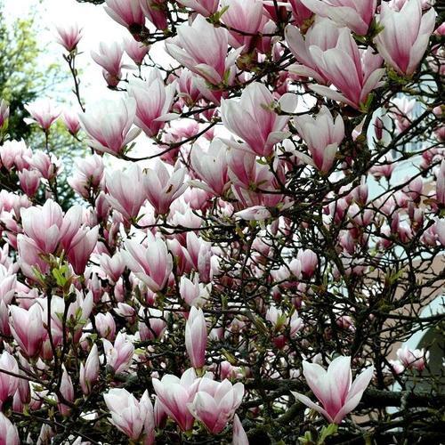 le magnolia en hommage à Pierre Magnol