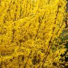 le forsythia  en mémoire de William Forsyth