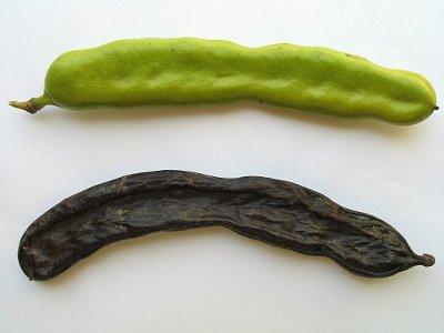 le caroubier et son fruit