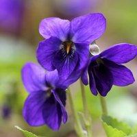 les bienfaits de la violette