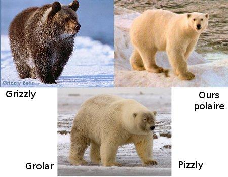 Grolar ou le pizzly
