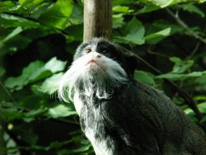 le tamarin:le petit singe