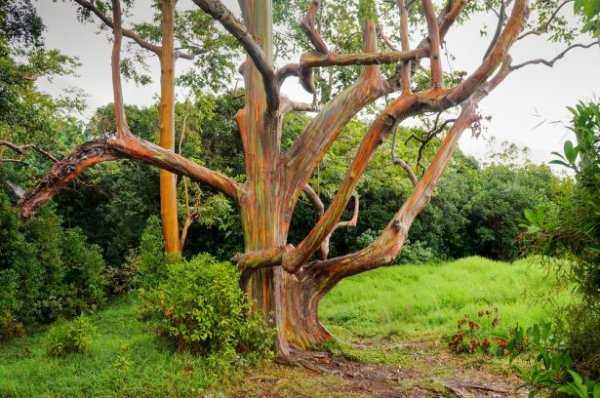 l'eucalyptus arc en ciel