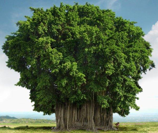 l'arbre de Banyans