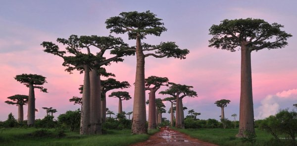 les baobabs de Grandidier à Madagascar