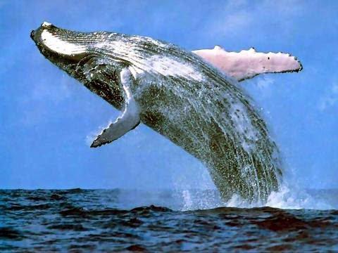 le saviez vous?  le plus gros animal de la planète