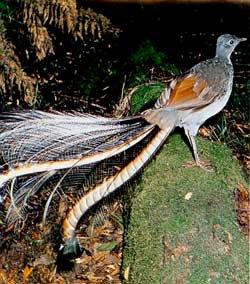 les prouesses vocales de l'oiseau lyre