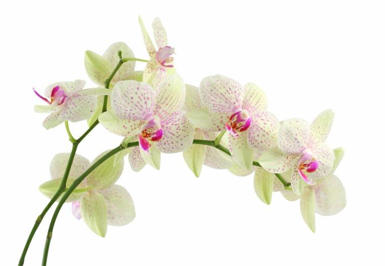 l orchidée