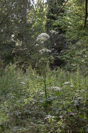 fleurs méconnues :la berce commune