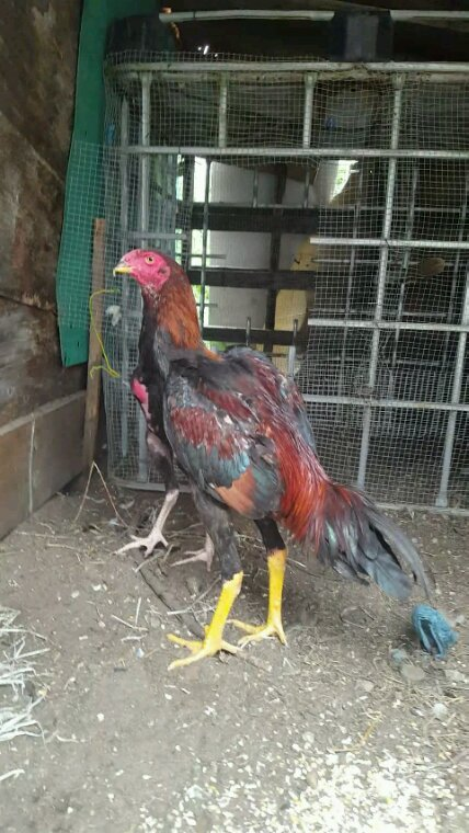 Thai rouge 5mois