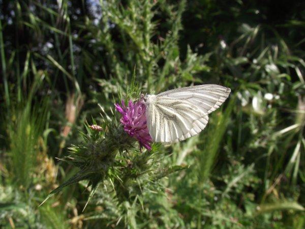 serie de papillon ..........