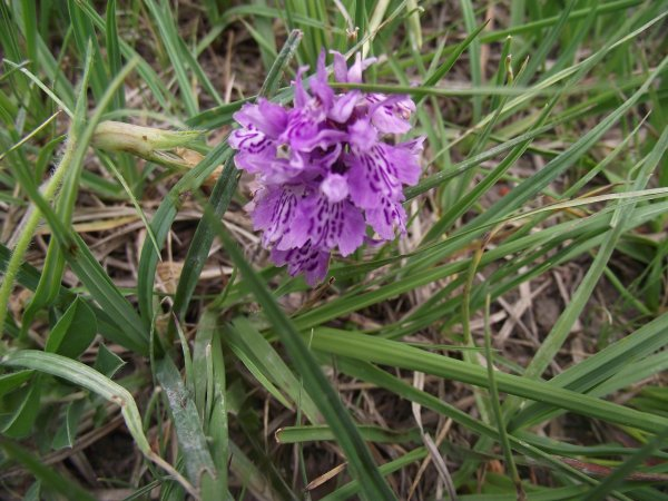 orchidée ..