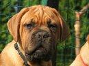 Photo de mes-dog-de-bordeaux