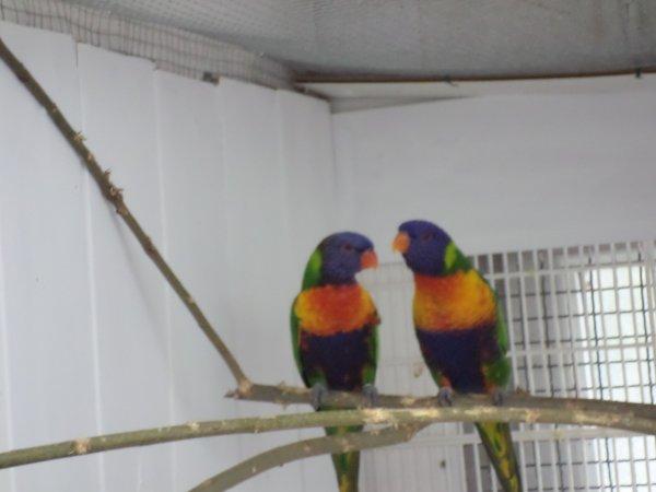 loriquet couple