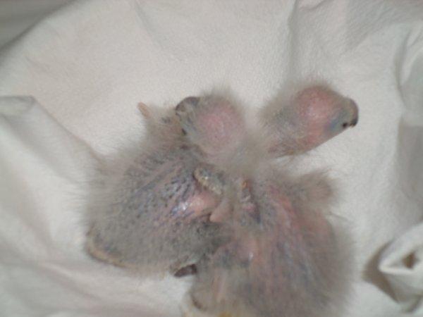 bebe loriquet