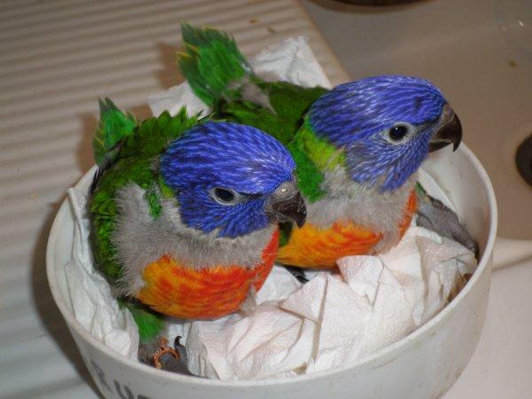 loriquet et colombe