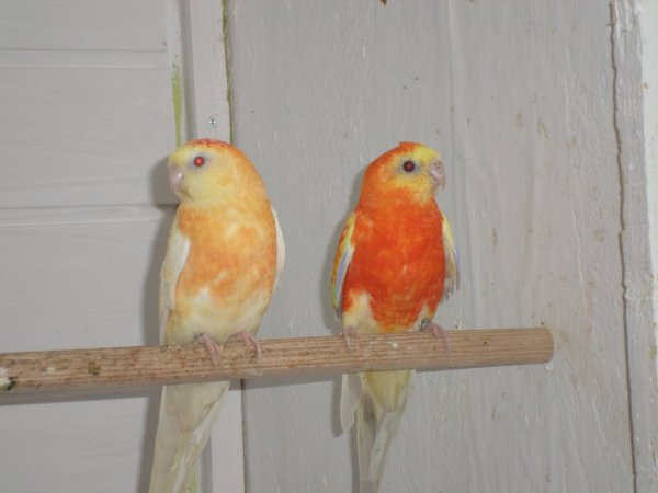 couple croupion rouge
