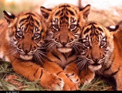 tigres !!!!!!