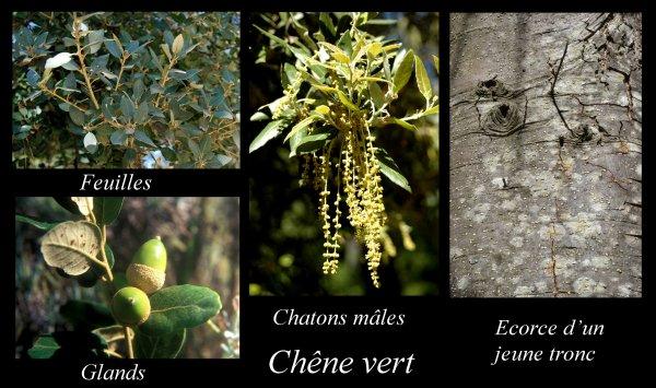 La chênaie verte, formation typique du pourtour méditerranéen (Flore_07)