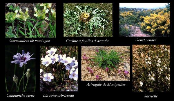 En juin, dans les bassins de l'Huveaune et du Merlançon (Flore_10)
