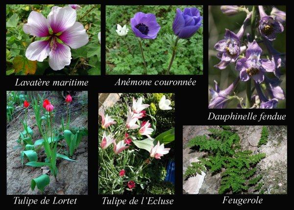 Quelques plantes rares des vallées de l'Huveaune et du Merlançon (La flore, 22 & fin)