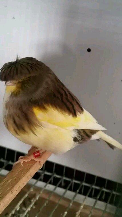 corona panache vert jaune