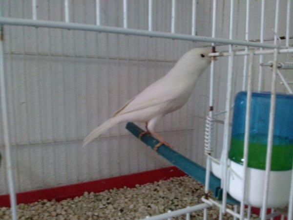 Male lipo blanc albino