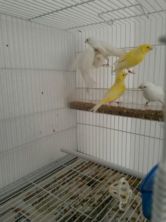 Quelque blanc albino et jaune lutino
