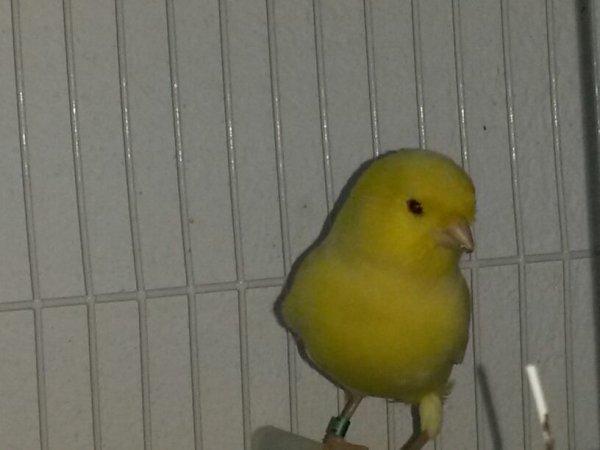 Un autre male jaune shimel