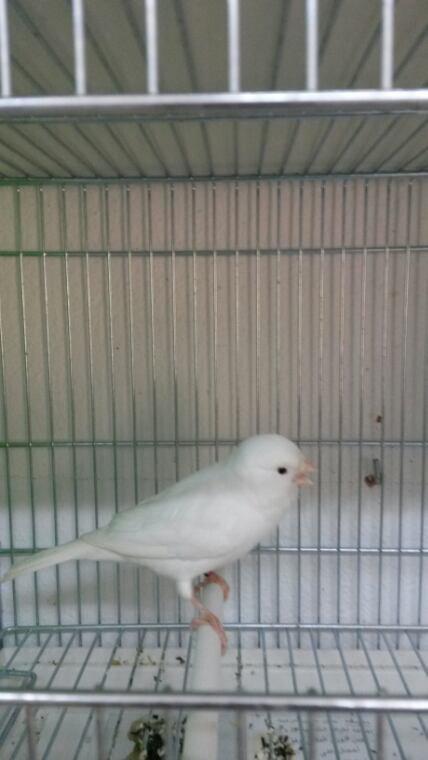 4 nouveau mâle dans mon élevage