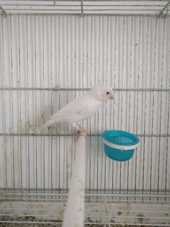 Jeunes femelle albinos en plein mue
