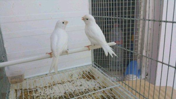 2 jeunes porteur albinos