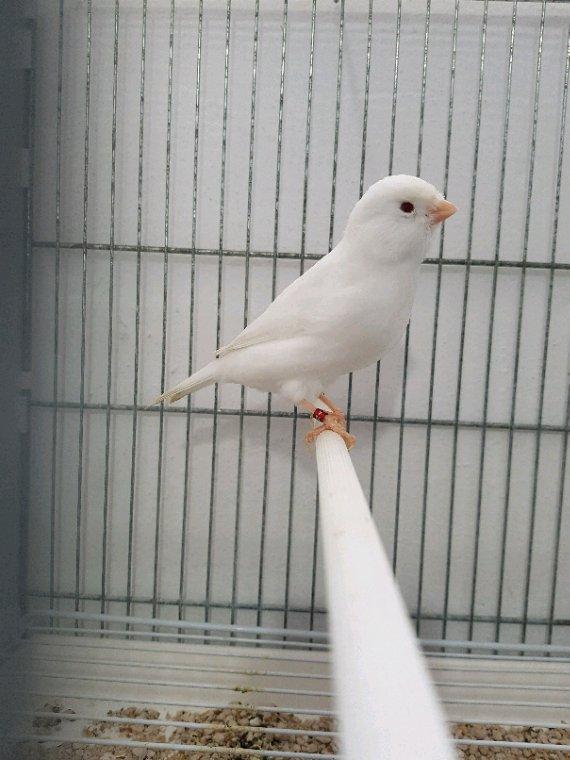 02-04-05 3 femelles albinos