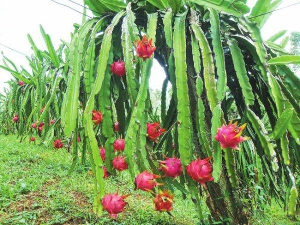 Coup de la vie comment manger le fruit du dragon - Arbre fruit du dragon ...