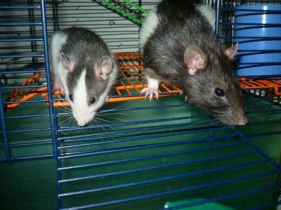 Ratte avec son fils