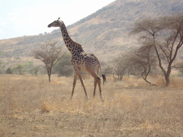 Kenya ( Safari )