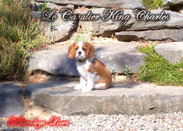 Le Cavalier King Charles !