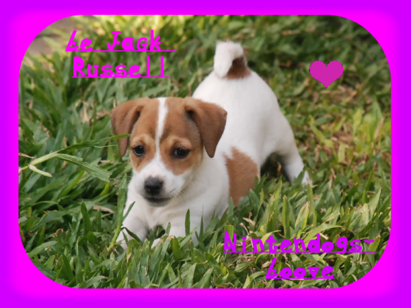 Le Jack Russell Terrier !
