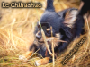 Le Chihuahua !