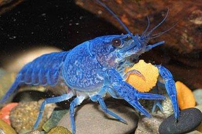 Ecrevisse bleue de Floride