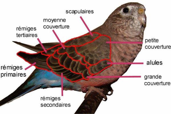 Description de la bourke aile