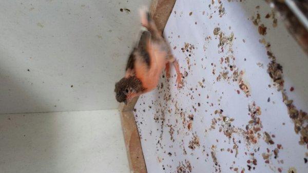 Petit arlequin huppe