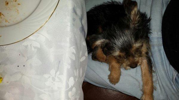 Derniere Petite chienne a vendre