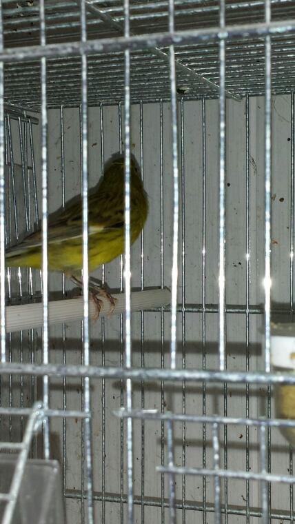 La jaune c est la mere des petits raza et le vert le pere