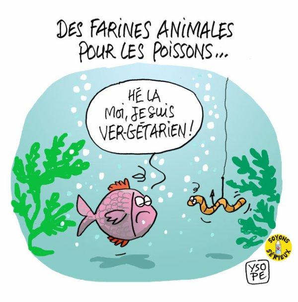 Le retour des farines animales pour nourrir les poissons !...