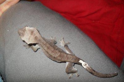 Rhacodactylus black