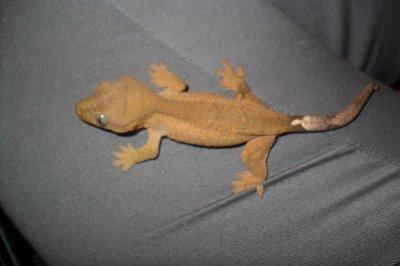 Rhacodactylus classique