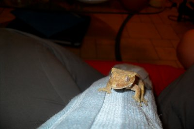 Rhacodactylus