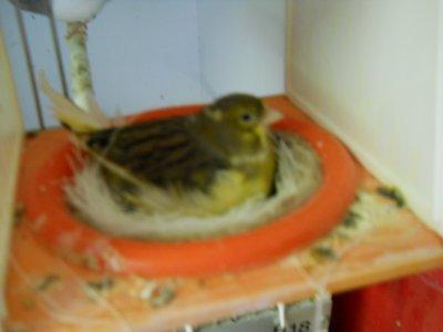 femelle qui couve leurs oeufs ou leurs jeunes