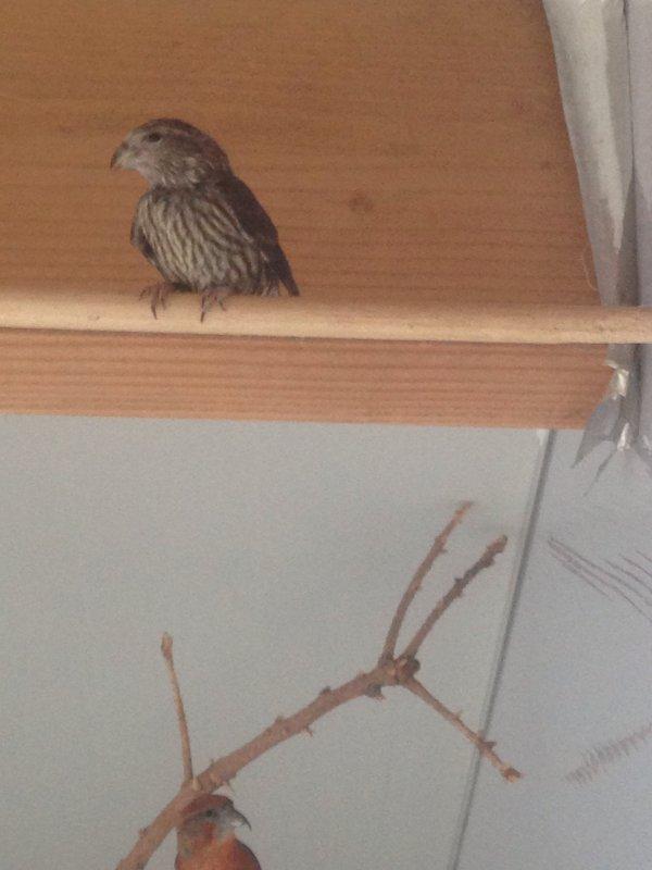 Jeune bec croisé sortis du nid